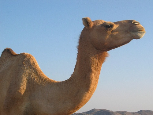 Paseo en camello en Tirol