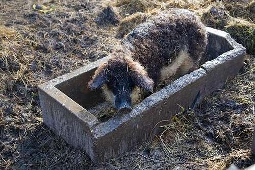 Cerdos de Mangalitza en Illmitz
